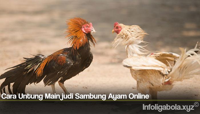Cara Untung Main judi Sambung Ayam Online