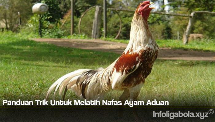 Panduan Trik Untuk Melatih Nafas Ayam Aduan